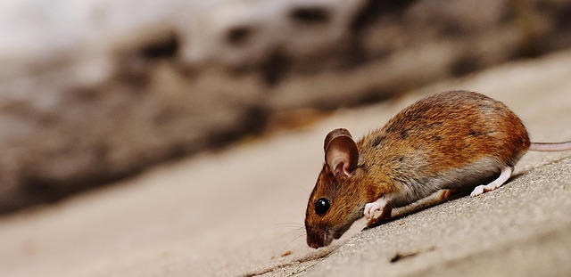 5 Humane Ways to Rid your Home of Mice